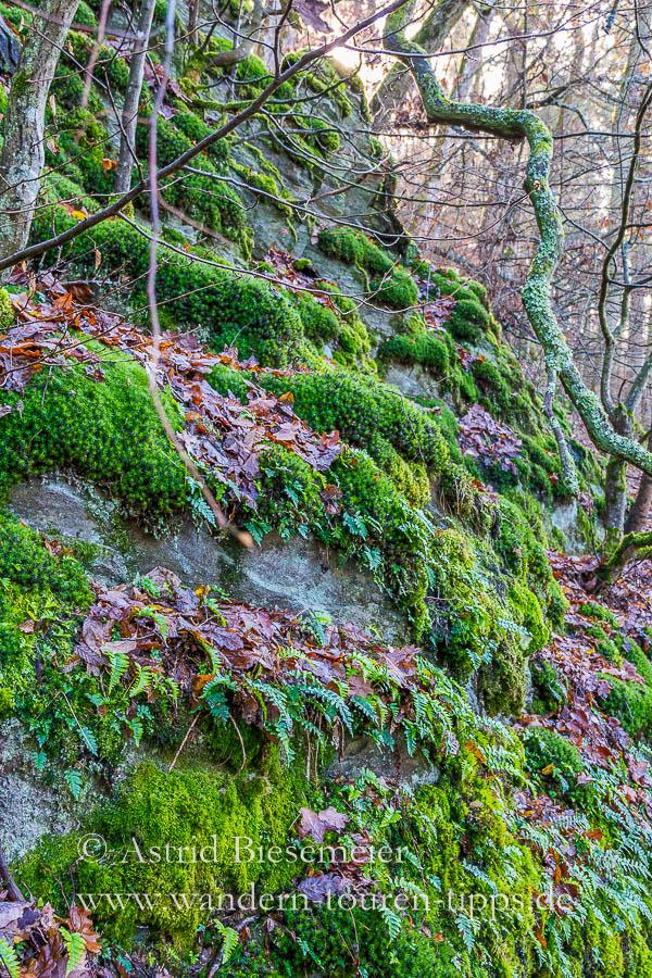 Farne und Moos auf den Felsen entlang des Wispertalsteigs