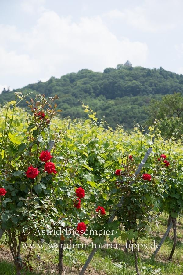 """Der Rundweg """"Wein und Stein"""" kann beispielsweise bis zur Starkenburg verlängert werden, die im Hintergrund noch gerade sichtbar ist."""