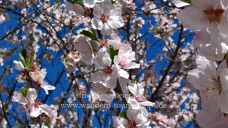 Herrliche Mandelblüten erwandern: Bei einer Wanderung an der Weinstraße ab Mitte/Ende März möglich.