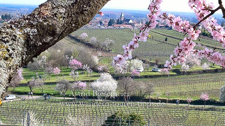 Im Garten Deutschlands: nicht nur zur Mandelblüte an der Weinstraße
