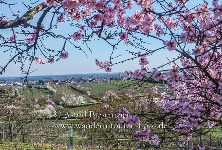Den Garten Deutschlands erwandern zur Mandelblüte an der Weinstraße