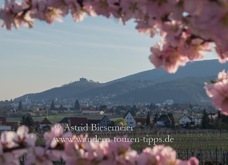Durch die Mandelblüte wandern an der Weinstraße